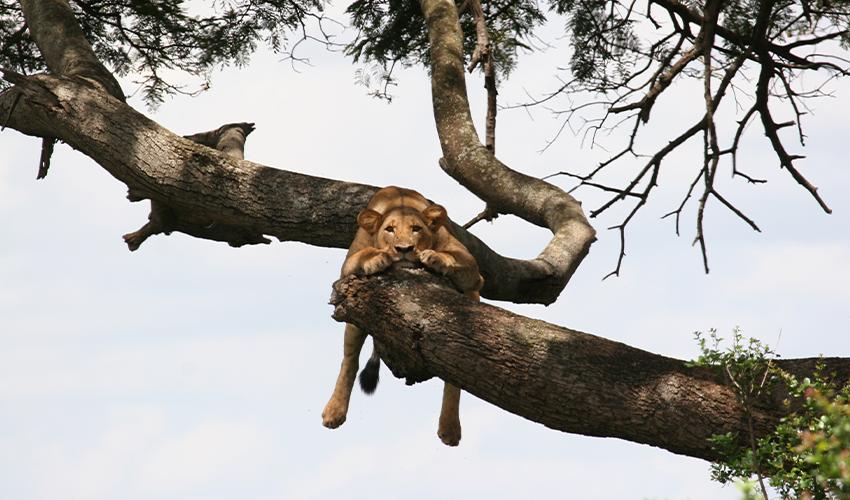Lions in Emakoko